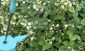 Рецепт подкормки клубники в период цветения